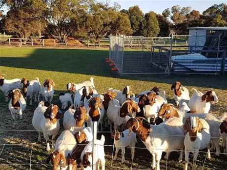 Livestock, Poultry, Frozen Chicken, Ostrich, Pigs & Animal Feed For Sale Whatsapp 27631521991