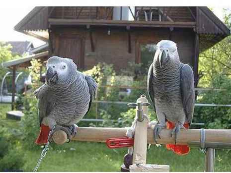 African Grey Congo parrots for adoption