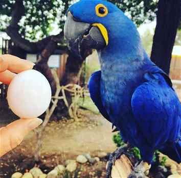 FERTILE OSTRICH AND PARROTS EGGS WITH PARROTS BIRDS FOR SALE